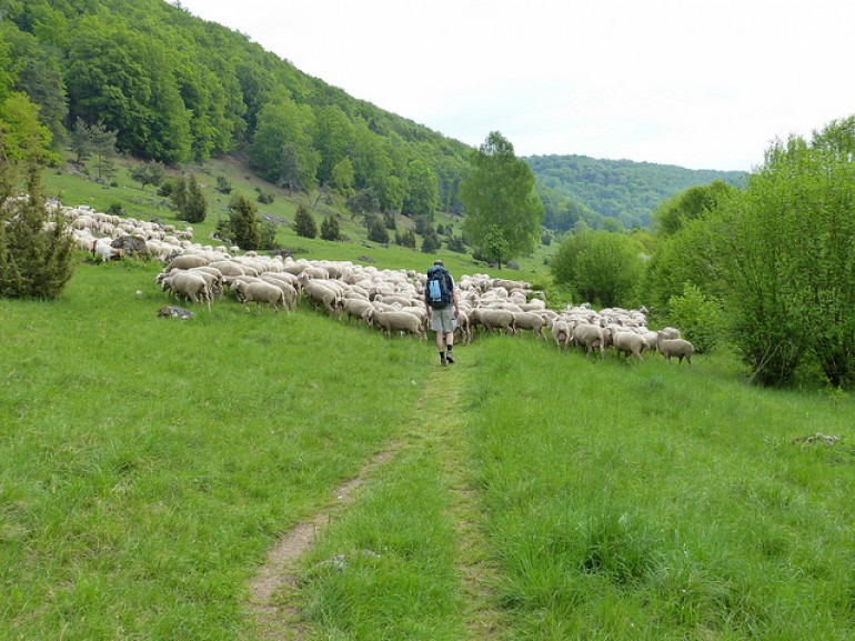 shepherd with sheep walking through green grass in the mountains